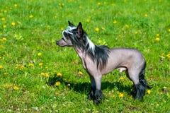 Noir crêté chinois de chien Images libres de droits