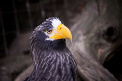 Noir d'Eagle Images stock