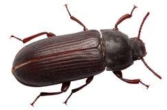 Noir de Dung Beetle d'isolement sur le fond blanc Photo stock
