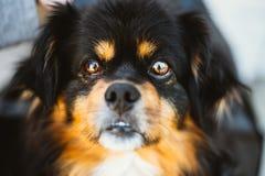 Noir de petite taille de race mélangée et chien de couleurs de Brown Photos stock