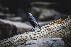 Noir de Raven se penchant sur une branche d'arbre photographie stock libre de droits