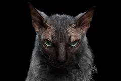 Noir de Sphynx Cat Angry Looking de loup-garou de plan rapproché in camera Images stock