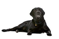 Noir dix années de Labrador Images stock