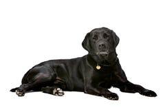 Noir dix années de Labrador Image libre de droits