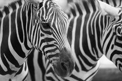 Noir et blanc photographie stock libre de droits