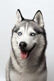 Noir et blanc adorable avec des yeux bleus enroués Projectile de studio sur le fond gris Concentré sur des yeux Images stock