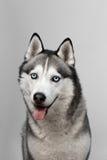 Noir et blanc adorable avec des yeux bleus enroués Projectile de studio sur le fond gris Concentré sur des yeux Images libres de droits
