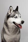 Noir et blanc adorable avec des yeux bleus enroués Projectile de studio sur le fond gris Concentré sur des yeux Photographie stock