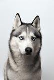 Noir et blanc adorable avec des yeux bleus enroués sur le fond gris Focalisé à l'oeil Images stock