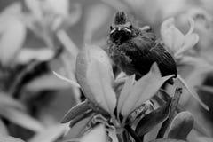 Noir et blanc d'un cardinal de bébé comme il part du nid Image libre de droits