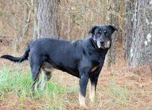Noir et chien de race mélangé par Tan Shepherd Rottweiler Image stock