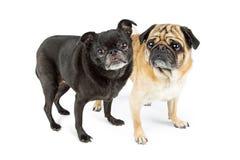 Noir et Fawn Color Pugs Photos libres de droits
