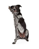 Noir et Grey Border Collie Waving Photographie stock libre de droits