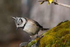 Noir et oiseau de petit morceau petit dans la faune Photographie stock libre de droits