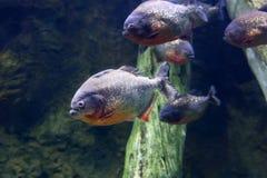 Noir PACU de poissons de piranha Photo stock
