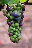 noir pinot виноградин Стоковые Изображения