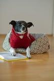 Noir - verres de port de chien blanc et costume rouge sur son divan au milieu d'une salle vide Image stock