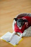 Noir - verres de port de chien blanc et costume rouge sur son divan au milieu d'une salle vide Photo libre de droits