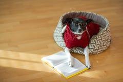 Noir - verres de port de chien blanc et costume rouge sur son divan au milieu d'une salle vide Image libre de droits