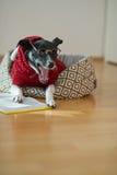 Noir - verres de port de chien blanc et costume rouge sur son divan au milieu d'une salle vide Photo stock
