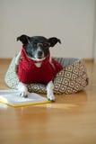 Noir - verres de port de chien blanc et costume rouge sur son divan au milieu d'une salle vide Photographie stock