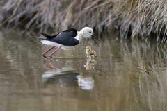 Noircissez l'échasse à ailes (himantopus de himantopus) et le bébé Image stock