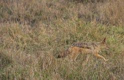 Noircissez le chacal soutenu de silverback marchant dans le buisson africain, Kruger, Afrique du Sud images stock