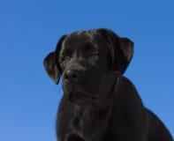 Noircissez le chiot de chien d'arrêt de Labrador Photos libres de droits