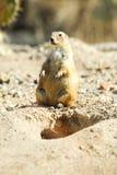 Noircissez le crabot de prairie suivi Photos libres de droits