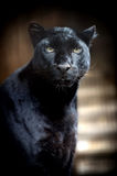 Noircissez le léopard Photo libre de droits