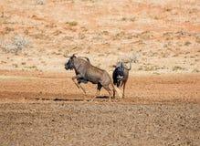 Noircissez le Wildebeest photographie stock libre de droits