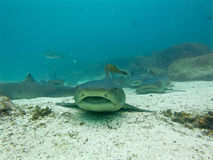 Noircissez les requins inclinés de récif, îles de Galapagos, Equateur Photo stock