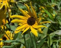 Noircissez Susan observée, hirta de Rudbeckia, plan rapproché jaune de fleur, le foyer sélectif, DOF peu profond Photos libres de droits