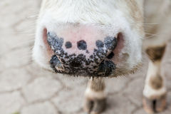 Noise from a cow. A noise from an cow stay close to me royalty free stock photo
