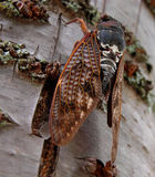 Noise master. Cicada - the master of noisy summer days in Japan Royalty Free Stock Photography