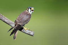 Noisy Falcon Stock Images