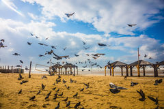 The noisy flock of pigeons Stock Photos