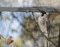A noisy friar bird on the branch. The noisy friar bird is in a cage resting on a branch royalty free stock photo