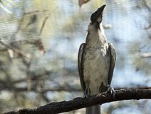 A noisy friar bird on the branch. The noisy friar bird is in a cage resting on a branch royalty free stock photography