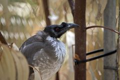 A noisy friar bird. This is a side view of a noisy friar bird royalty free stock images