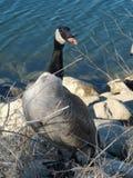 Noisy goose. Animals nature lake photography royalty free stock photos
