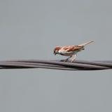 Noisy house sparrow male marking his territory Stock Photo