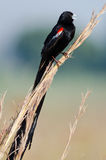 Noisy long-tailed Widowbird Stock Photos