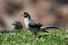 Noisy Miner Royalty Free Stock Photos