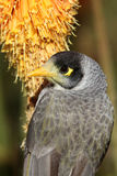 Noisy Miner Royalty Free Stock Images