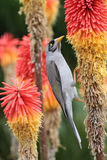 Noisy Miner Royalty Free Stock Image