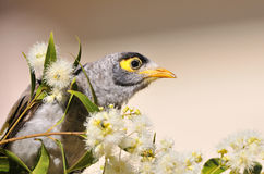 Noisy Miner bird Stock Photos