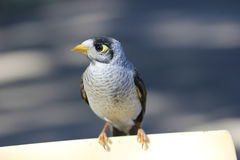 Noisy Miner bird close-up Stock Images