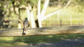 Noisy miner bird by itself