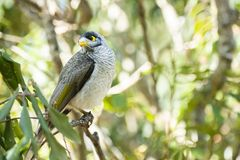 Noisy Miner. Bird outside amongst nature during the day royalty free stock image